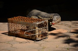 Varanus salvator or Asian water monitor is interested in cage rat