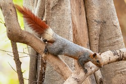 Variable Squirrel climbing down the tree looking into a distance