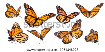 Variation on different positions of the beautiful Monarch butterfly #1031348077