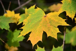 Varicolored autumn maple leaves on the branches of maple