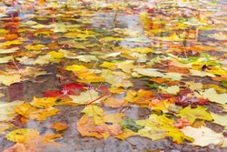 Varicolored fallen leaves of maple and other trees in a puddle during the rain in autumn park, bottom view in selective focus