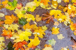 Varicolored fallen leaves of maple and other trees in a puddle during the rain in autumn park