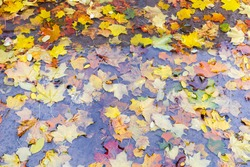 Varicolored fallen leaves of maple and other trees in a puddle during the rain in autumn park, top view