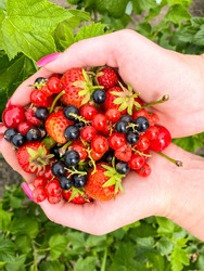Varicoloured bright berries of currant, strawberry and cherry in the palms of a woman's hands.Defocus light background. Concept of proper healthy nutrition, agriculture.