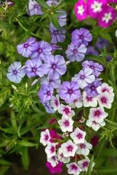 varicoloured flowers of Phlox paniculata, garden phlox flower. phlox in the garden