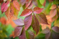 Varicoloured leaves of wild grapes in autumn