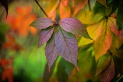 Varicoloured leaves of wild grapes in autumn (FX)