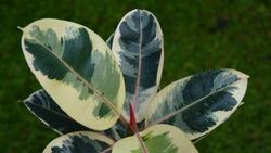 Variegated ficus elastica varieties variegata, or robusta tineke. Plant with tricolor leaves