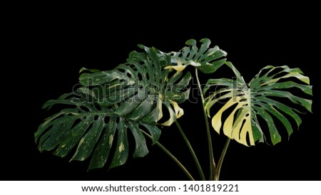 Variegated green yellow leaves of tropical foliage plant Monstera philodendron (Monstera deliciosa) popular houseplant isolated on black background.