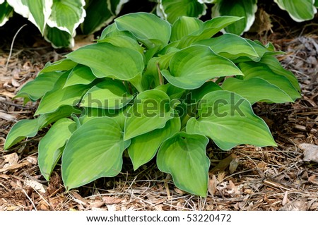 Small Variegated Hosta Variegated Hosta Plant With