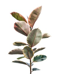 Variegated Indian Rubber plant isolated on white background with clipping path