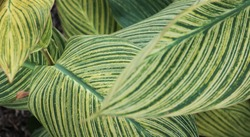 Variegated Leaf, green yellow leaf background