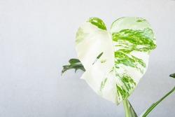 Variegated leaf on isolated background