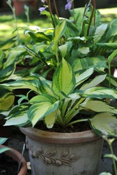 Variegated medium hosta Color Festival grows in a pot in a garden in July 2010