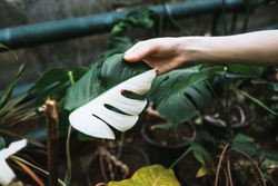 Variegated Monstera deliciosa leaves in woman gardener hand, half white, half green. Exotic house plant, close-up.