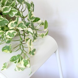 Variegated Pothos Njoy Creamy Green House Plant