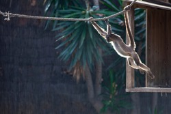 Variegated spider monkey is jumping on a rope against a background of trees