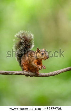 Variegated Squirrel - Tail up High