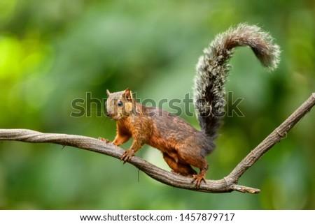 Variegated Squirrel - Walk the Vine