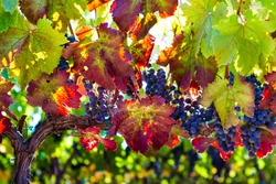 Variegated Vine - Plumb, sweet red wine grapes hang ready for harvest. Russian River Valley, California, USA