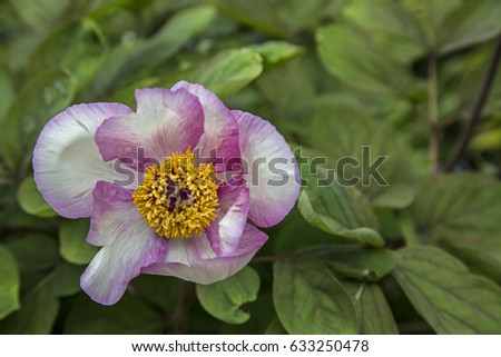 Free photos pink and white flowers with yellow stamens in the center variegated white and pink petals blooming japanese peony flower yellow stamencenters mightylinksfo