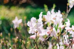 Varietal Cunningham Rhododendron (Rhododendron caucasicum x Rhododendron ponticum var.Album) in the garden, floral card on a bright sunny day