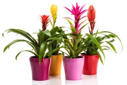 Variety of Bromeliad plants in colorful flower pots on white background. Potted Vriesea and Guzmania plants isolated.