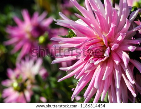 variety  of chrysanthemum amy k asteraceae plant, one large pink flower with a yellowish core, thin long petals, the plant is located at the left side of the photo, against a background blurred  #1186314454