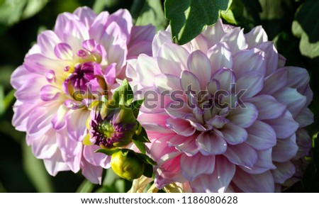 variety  of chrysanthemum carolina  moon asteraceae plant, lilac bright petals smoothly turning into a white and yellow plant shade, a sunny autumn day, two flowers in full bloom and a few buds  #1186080628