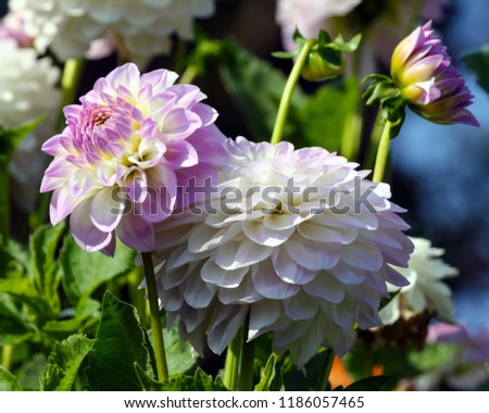 variety  of chrysanthemum midnight moon asteraceae plant, lilac bright petals smoothly turning into a white and yellow plant shade, a sunny autumn day, two flowers in full bloom and a blossoming bud,  #1186057465
