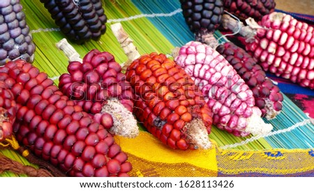 Variety of colorful cubs of corn: Indian corn, purple corn, sweet corn  on display at indigenous seed festival in Cuenca, Ecuador