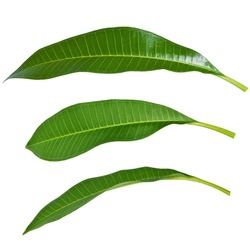 Various angles of mango leaves
