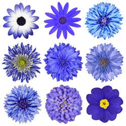 Various Blue Flowers Selection Isolated on White Background. Daisy, Chrysanthemum, Cornflower, Dahlia, Iberis, Primrose