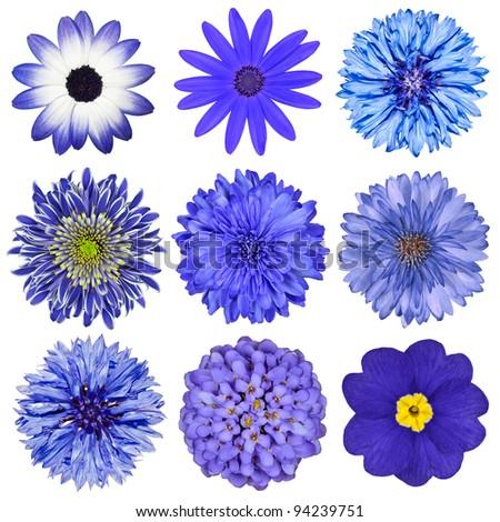 Various Blue Flowers Selection Isolated on White Background. Daisy, Chrysanthemum, Cornflower, Dahlia, Iberis, Primrose