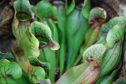 Various carnivorous plants close up