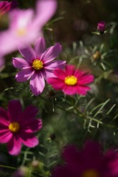 Various Color of Cosmos in Full Bloom