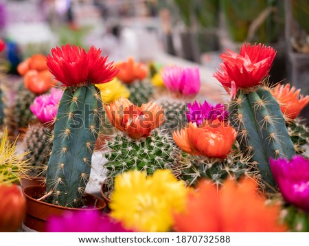 Various colored cacti plants in a greenhouse. Collorfull cacti on the shelf in the store. Decorative small cacti in small pots of different types. Plants background