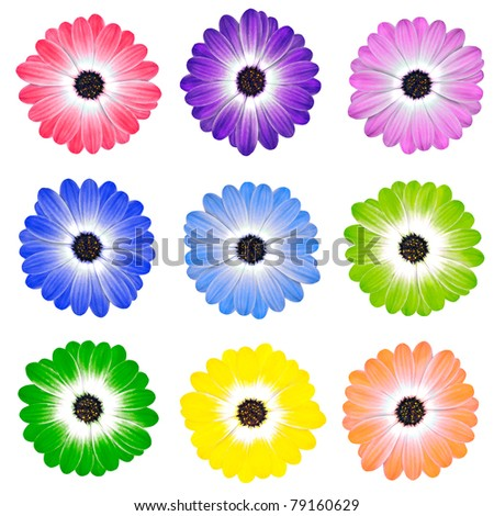 Various Colorful Daisy Flowers Osteospermum Isolated on White Background