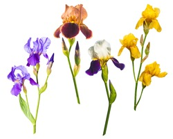 Various colorful irises isolated on a white background