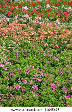 Various colors of geranium on flower festival,  Italy ,Europe