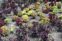 Various cultivars of Coleus scutellarioides with colorful leafage in July