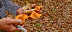 various Edible Forest mushrooms and a knife in male hand in woodland. Lactarius deliciosus (Saffron milk cap), fresh porcini cep and Macrolepiota procera. Autumn harvest fungi. Mushrooming season