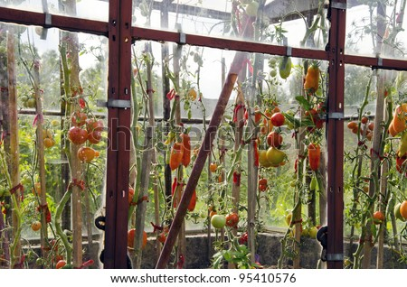 Various forms riped and ripening tomatoes in glass greenhouses.