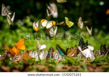 Various kinds of Butterflies in low angle shot, foraging the mineral salt in nature background at Kaeng Krachan National Park, Petchaburi province, Thailand. (selective focus)