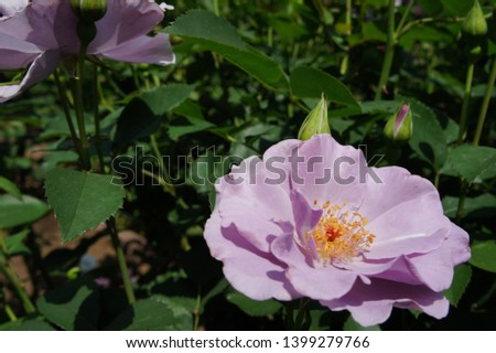 Various kinds of roses flowered #1399279766