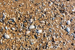 Various molluscan seashells lying on sandy beach.