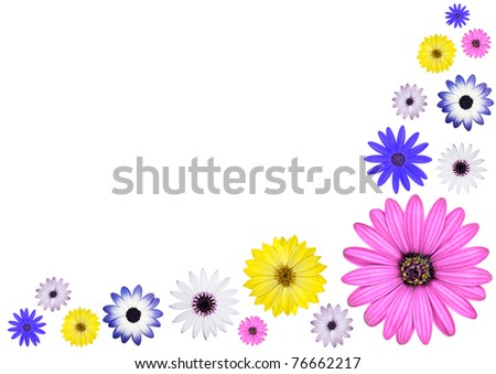 Various Multi Colored Osteospermum Daisy Flowers Isolated on White Background