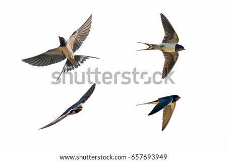 Photo of  various postures of swallow hirundo rustica on white background