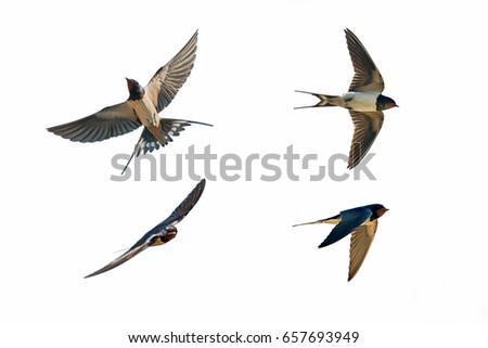 various postures of swallow hirundo rustica on white background Stock photo ©
