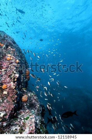 Various reef fish including brown chromis dart along an underwater wall in Costa Rica in the Gulf of Papagayo - stock photo